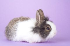 Spotted bunny isolated on purple Royalty Free Stock Image