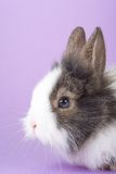 Spotted bunny isolated on purple Royalty Free Stock Photo