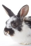 Spotted bunny portrait, isolated Royalty Free Stock Image