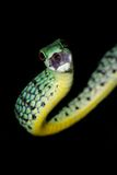 Spotted bush snake Royalty Free Stock Photography