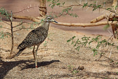 Spotted Bush Thick-Knee Sunning in the Sand Royalty Free Stock Image