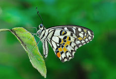 Spotted butterfly. Beautiful spotted butterfly on the leaf stock photography