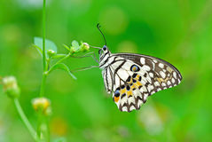Spotted Lime butterfly. Spotted butterfly stay on flowers royalty free stock photography