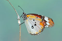 Spotted butterfly. Resting on the branches royalty free stock photography