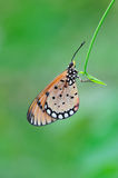 Spotted butterfly. Stay on green leaf royalty free stock photography