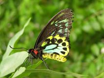 Spotted Butterfly. Close-up of colorful butterfly with copy space on right-hand side Stock Photo