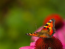 Spotted butterfly on the flower in the field. Spotted butterfly on the red flower in the green field Stock Image