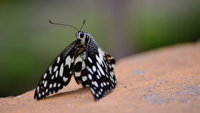 Spotted Butterfly Stock Images