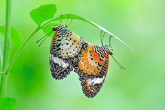 Spotted butterfly mating. On leaf stock image