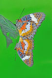 Spotted butterfly mating. Very colour butterfly mating on the leaf royalty free stock photo