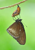 Spotted butterfly with the shell Royalty Free Stock Photography