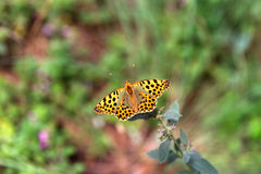 Spotted butterfly. Sit on a branch of wild mint Royalty Free Stock Photo