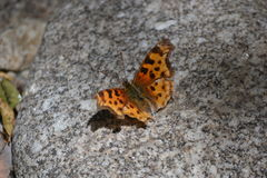 Spotted butterfly on a stone. Spotted butterfly resting on a stone with open wings Royalty Free Stock Photography