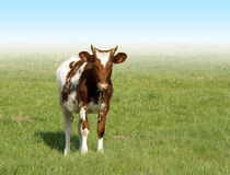 Spotted calf. On a green grass Stock Photography