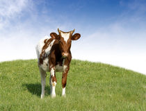 Spotted calf Royalty Free Stock Images