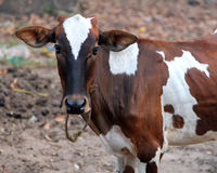 Spotted calf, India Stock Photos