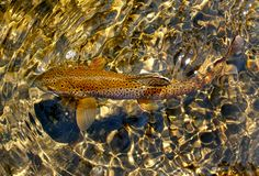 Spotted Camouflaged Brown Trout stock images