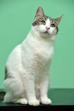 Spotted cat Stock Images