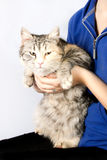 Spotted cat in the hands of a teenage girl Royalty Free Stock Image