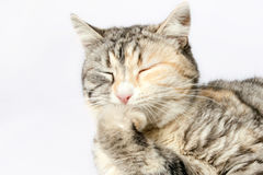 Spotted cat sitting with eyes closed leaning on leg Royalty Free Stock Photos