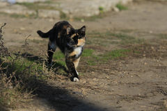 Spotted cat walks Royalty Free Stock Photo