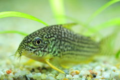 Spotted catfish for aquariums Stock Photography