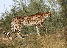Profile of a cheetah in the tall grass Stock Photography