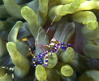 Spotted cleaner shrimp royalty free stock photos