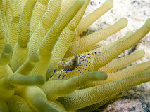 Spotted cleaner shrimp (Periclimenes yucatanicus) Stock Photos