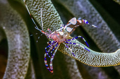 Spotted cleaner shrimp. Periclimenes yucatanicus, is a kind of cleaner shrimp common to the Caribbean Sea royalty free stock photography
