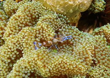 A spotted cleaner shrimp Periclimenes yucatanicus Stock Photos