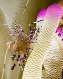 A Spotted Cleaner Shrimp on a Pink-Tipped Anemone in Curacao stock images