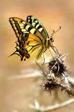 Spotted colorful butterfly on the thorn. Closeup vertical oriented image of spotted colorful butterfly sitting on the thorn Stock Photo