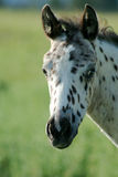 Spotted Colt. Appaloosa colt posing for camera Royalty Free Stock Images