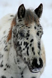 Spotted Colt 8. Appaloosa colt in winter pasture,Idaho,Horse Royalty Free Stock Photography
