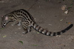 Spotted common genet. Large spotted common genet animal pictured outdoors stock photo