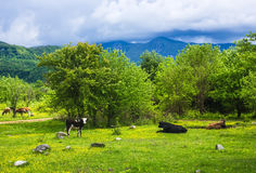 Spotted cow grazes on green meadow. Spotted cow in Abkhazia grazes on green meadow with flowers near mountains and hills near other different color cows from the royalty free stock photography