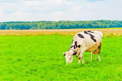 Spotted cow grazes on meadow Royalty Free Stock Images