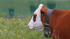 A spotted cow grazing the grass in Friuli Royalty Free Stock Photography