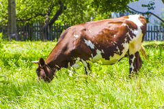 Spotted cow grazing in a meadow in the village Stock Photos