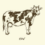 Spotted Cow. Hand drawn vector illustration, Spotted Cow Stock Photography