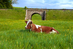Spotted cow resting on green grass Royalty Free Stock Photo