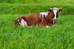 Spotted cow resting on green grass Stock Photo