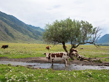 Spotted cow standing in the creek next to a tree on a background of meadow Stock Photos