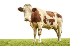 Spotted cow standing on lush green grass in Austrian Alps and facing camera on white background. royalty free stock photos