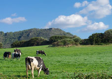 Spotted Cows on Meadow Royalty Free Stock Photography