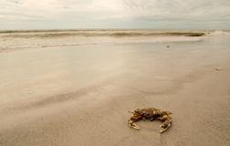 Spotted Crab on beach. On cloudy day on Sanibel Island, Florida Royalty Free Stock Images