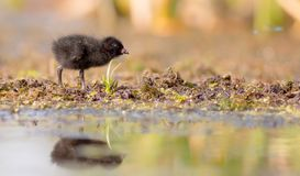 Spotted Crake - Porzana porzana - chick. At 7-10 days of age at a wetland, Vilnius county, Lithuania Royalty Free Stock Image