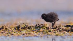 Spotted Crake - Porzana porzana - chick. At 7-10 days of age at a wetland, Vilnius county, Lithuania Royalty Free Stock Photo
