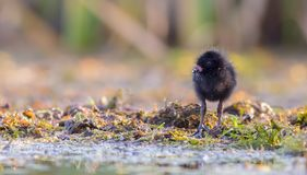 Spotted Crake - Porzana porzana - chick. At 7-10 days of age at a wetland, Vilnius county, Lithuania Stock Photo